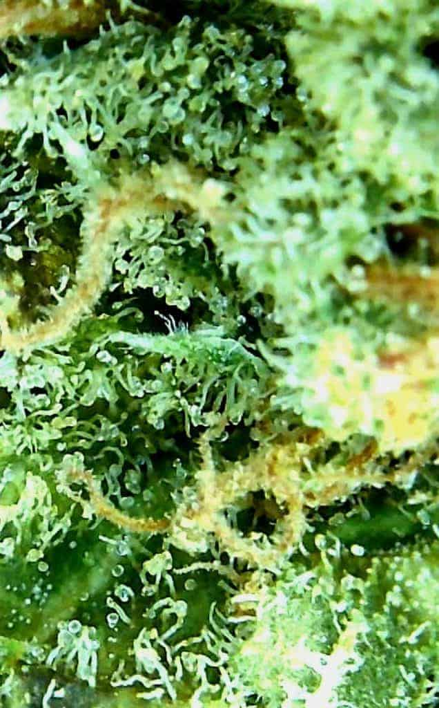 shishkaberry strain review, shishkaberry microscopic