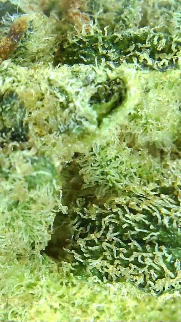 glueberry strain review micro pic of cannabis