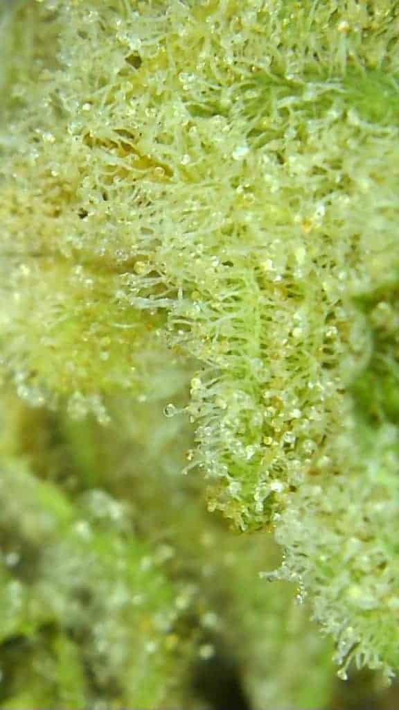 green crush strain review, micro picture